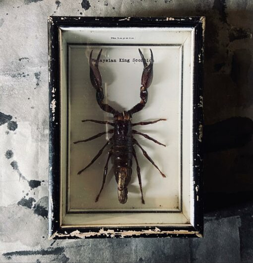 Framed Malaysian King Scorpion